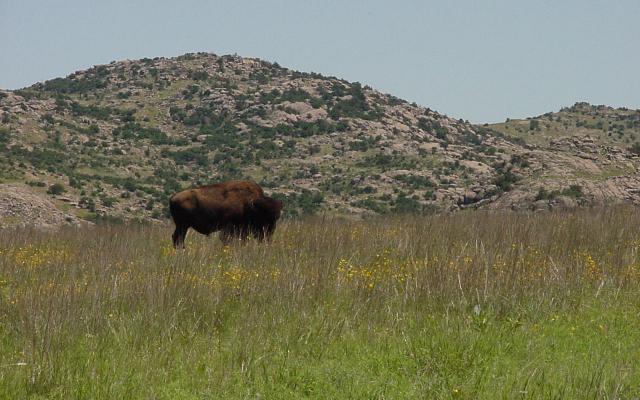 Wichita Mountains /bison